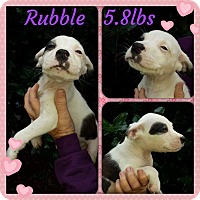 Labrador Retriever/Hound (Unknown Type) Mix Puppy for adoption in Shaw AFB, South Carolina - Rubble
