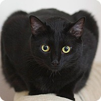 Bombay Cat for adoption in Schertz, Texas - Eboni LS