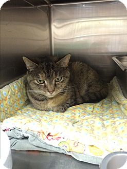 Domestic Shorthair Cat for adoption in Lunenburg, Massachusetts - Ryder