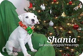 American Bulldog/American Pit Bull Terrier Mix Puppy for adoption in Toledo, Ohio - Shania