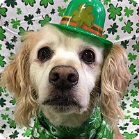 Adopt A Pet :: Charlie - Newington, VA