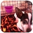 Photo 2 - Rat Terrier Mix Dog for adoption in North Hollywood, California - Tansie
