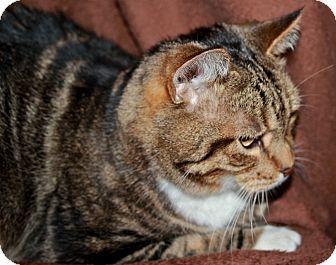 Domestic Shorthair Cat for adoption in Laingsburg, Michigan - Sebastian