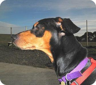 Dachshund Mix Dog for adoption in Covelo, California - Ziggy