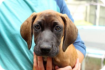 Rhodesian Ridgeback Mix Puppy for adoption in Salem, New Hampshire - PUPPY SMOKEY GIRL