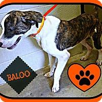 Adopt A Pet :: Baloo - Benton, AR