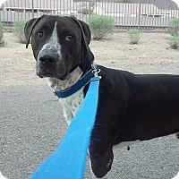 Adopt A Pet :: Blue formerly Spike - Las Vegas, NV