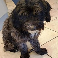 Lhasa Apso Mix Dog for adoption in Scottsdale, Arizona - Padfoot