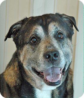 Labrador Retriever/Shepherd (Unknown Type) Mix Dog for adoption in Columbus, Ohio - Snapper