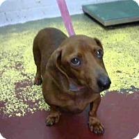 Adopt A Pet :: BIG MAN - Atlanta, GA