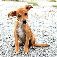 Adopt A Pet :: Hans~meet me! - Glastonbury, CT