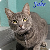 Domestic Shorthair Cat for adoption in Bradenton, Florida - Jake