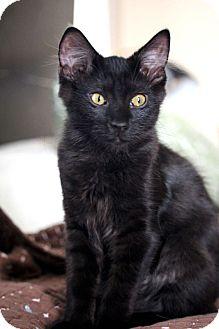 Maine Coon Cat for adoption in Studio City, California - Alexander & Angelica