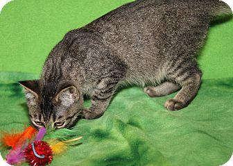 Domestic Shorthair Cat for adoption in Marietta, Ohio - Dawn (Sookie's Kitten)