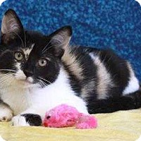 Adopt A Pet :: periwinkle - South Bend, IN