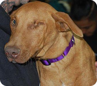Hound (Unknown Type) Mix Puppy for adoption in Brooklyn, New York - LittleBoss