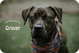 Plott Hound Mix Dog for adoption in Kansas City, Missouri - Grover