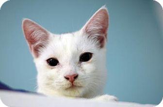 Domestic Shorthair Cat for adoption in Atlanta, Georgia - Angel Boy 161746