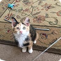 Adopt A Pet :: Jackie O'Lantern - Chicago, IL