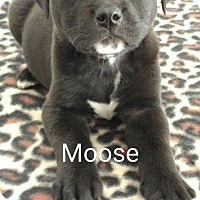Adopt A Pet :: Moose - Thompson, PA