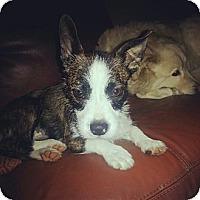 Adopt A Pet :: Smooches - Chicago, IL