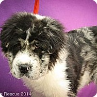 Adopt A Pet :: Panama - Broomfield, CO