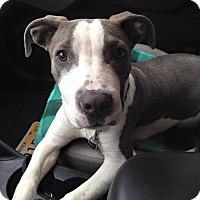 Adopt A Pet :: Blue - Hollywood, FL