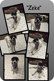 Boxer/Pointer Mix Dog for adoption in Del Rio, Texas - Zeke