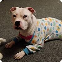 Adopt A Pet :: Penny - Villa Park, IL