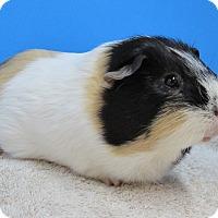Adopt A Pet :: HICCUP - Aurora, CO