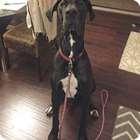 Adopt A Pet :: Boone - Springfield, IL