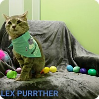 Adopt A Pet :: lex purrther - Muskegon, MI