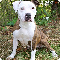 Pit Bull Terrier Mix Dog for adoption in Oakland, New Jersey - Piper