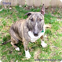 Bull Terrier Dog for adoption in Bloomington, Minnesota - Stella