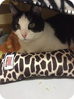 Domestic Mediumhair Cat for adoption in Fountain Hills, Arizona - Zorro
