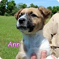Adopt A Pet :: Ann - Groton, MA