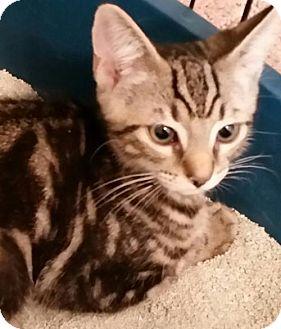Domestic Shorthair Kitten for adoption in Philadelphia, Pennsylvania - Fernon