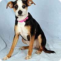 Adopt A Pet :: Wanda Terrier - St. Louis, MO