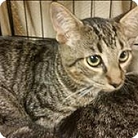 Domestic Shorthair Cat for adoption in Atlantic City, New Jersey - Mr. Shy