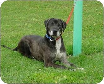 Bogart | Adopted Dog | Austin, MN | Great Dane/Bernese ...