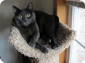 Domestic Shorthair Cat for adoption in Grinnell, Iowa - Dr. Tiny Cat