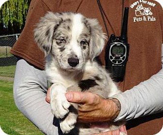 Golden Retriever/Anatolian Shepherd Mix Puppy for adoption in Lathrop, California - Dallas