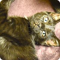 Adopt A Pet :: Priscilla - Island Park, NY