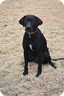 Labrador Retriever Mix Dog for adoption in Chicago, Illinois - Antonia