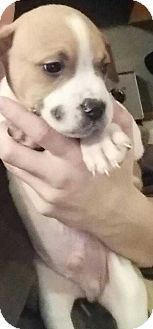 Boxer/Pit Bull Terrier Mix Puppy for adoption in Clear Lake, Iowa - Bud