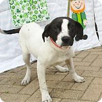 Adopt A Pet :: Gidgette - West Chicago, IL