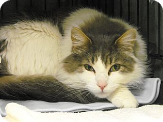 Domestic Longhair Cat for adoption in Mission, British Columbia - Nonis