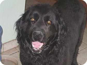 Marni | Adopted Dog | Evergreen, CO | Labrador Retriever ...