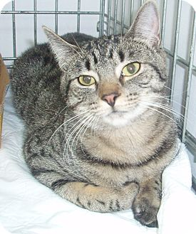 Domestic Shorthair Cat for adoption in Germansville, Pennsylvania - Alvin