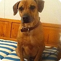 Adopt A Pet :: Dandy - Lawrenceville, GA